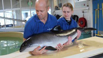 Bruinvis overleeft aanval van grijze zeehond