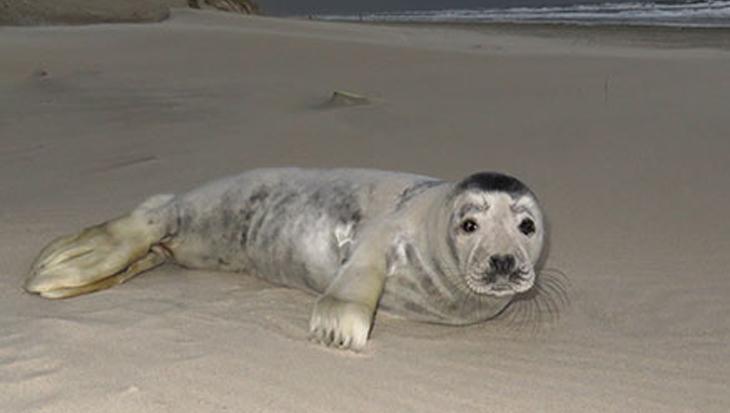 Jong grijs zeehondje aangespoeld