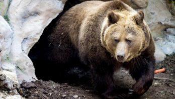 Chocolade wordt beren fataal