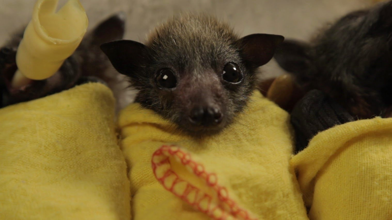 Bekijk hoe deze baby vleermuizen