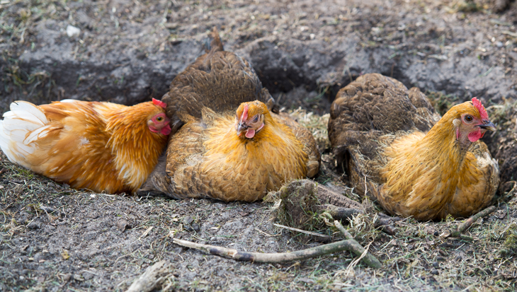 Zandbad: ook voor kippen