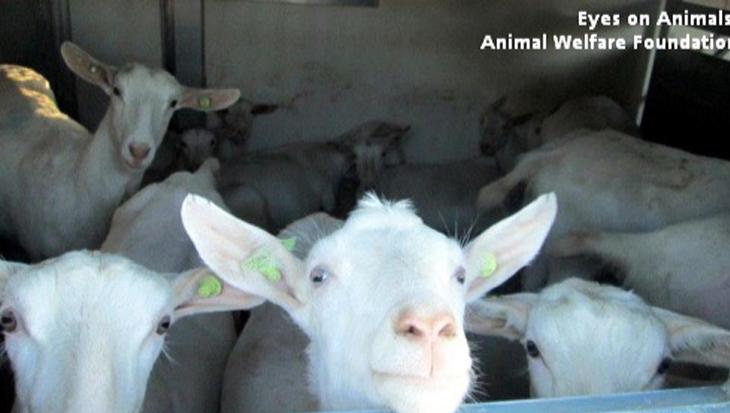 Help jij de dieren die lijden onder de verre veetransporten?