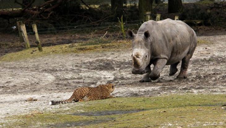 Cheeta's zetten Beekse Bergen op stelten