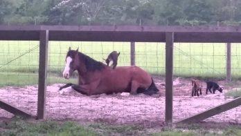 Geitjes gebruiken paard als speeltoestel
