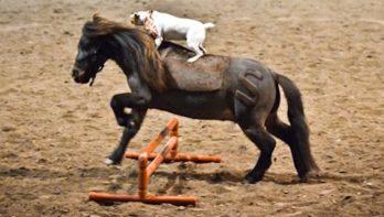Jack Russell rijdt op pony