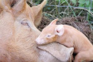 babydieren zwijn