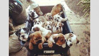 De leukste bulldogs!