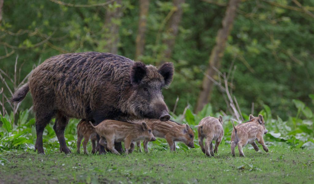 babydieren zwijntjes