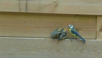 Wat te doen met jonge vogeltjes