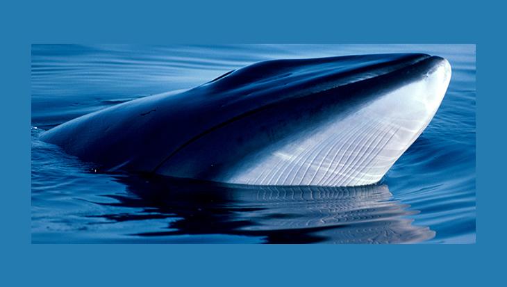 Japan gaat weer op walvissen jagen