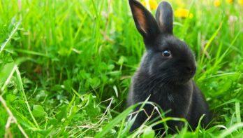 Gevaarlijk nieuw konijnenvirus