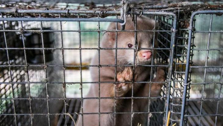 Bont voor Dieren en Animal Rights willen einde illegale nertsenfokkerijen