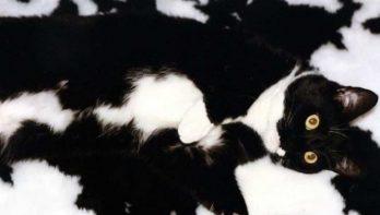 10 foto's van haast onzichtbare katten