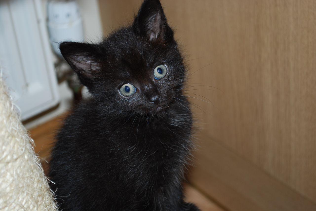 zwarte kittens
