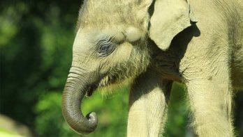 Sri Lanka krijgt ziekenhuis voor babyolifantje