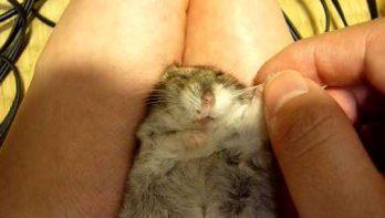 Hamster ligt te relaxen