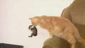 Kat adopteert babykonijntje
