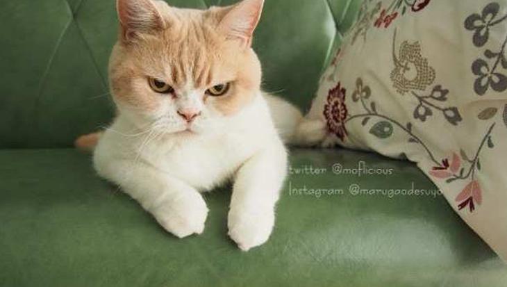 Koyuki is de concurrente van Grumpy Cat