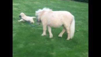 Puppy laat shetlander uit