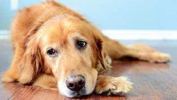 Rectificatie: Geef honden GEEN Ibuprofen