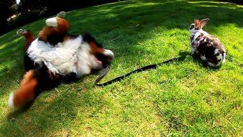 Berner sennenhond en konijn zijn beste vrienden