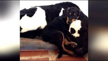 Hond en koe zijn beste vriendjes, te lief!