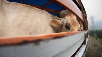 Parlementaire enquête diertransporten aangekondigd na presentatie gruwelijke beelden