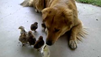 Hond adopteert kippenkuikens