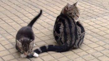 Kitten speelt met staart mama