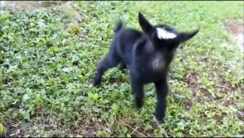 Pittig baby geitje
