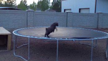 Geitje ontdekt trampoline