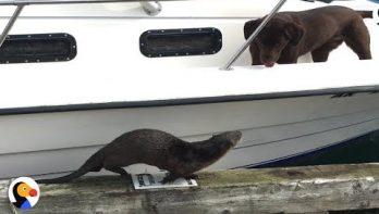 Nieuwsgierige otter
