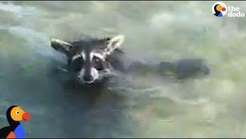 Uitgeputte wasbeer uit het water gered