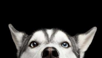 Peter Dinklage vraagt Game of Thrones - fans om geen Husky te kopen