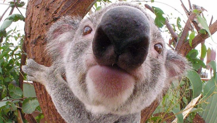 10 lieve koala's