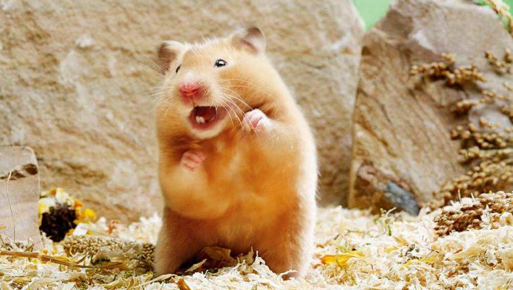 De hamstertaal vertaald: piepen, knorren en brommen