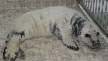 Eerste grijze zeehondenpup in opvang Ecomare