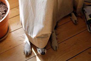 honden in de gordijnen