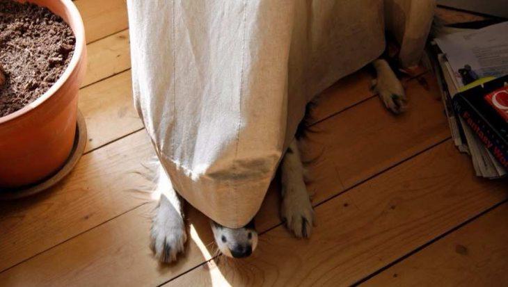 10 honden in de gordijnen