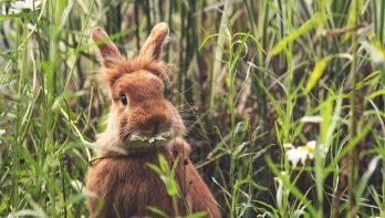 Het Leeuwenkop konijn