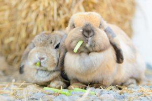 konijn eten