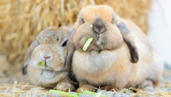 Wat mogen konijnen niet eten?