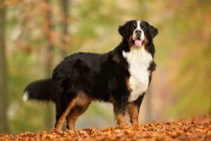 Berner Sennen hond