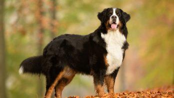 De Berner Sennen hond