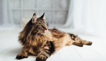 Main Coon kat