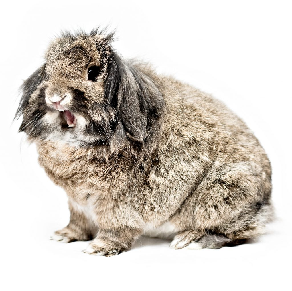 Leeuwenkop konijn uiterlijk