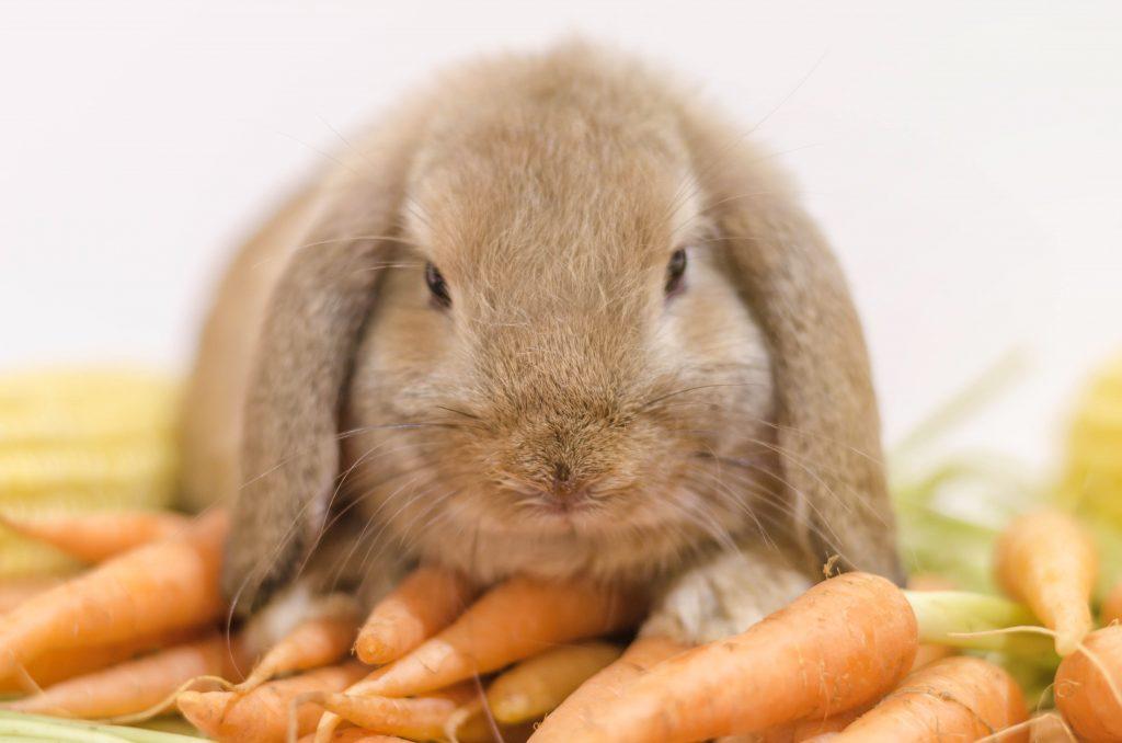 de nederlandse hangoordwerg - hart voor dieren