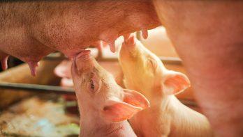 Biggensterfte neemt toe bij varkenshouderijen