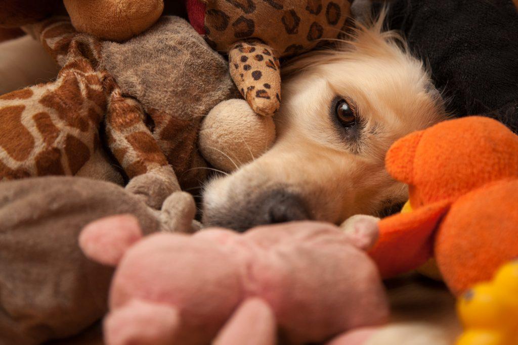 schijnzwangerschap bij honden