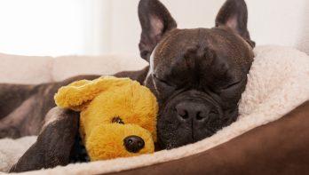 Hoe herken je een schijnzwangerschap bij je hond?